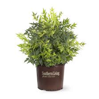 Five Lemon Lime Nandinas, 3 Gallon Sz. From Southern Living Plant Collection 202//202