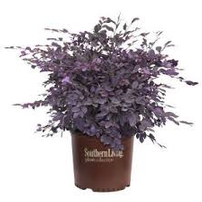 Five Purple Pixie Loropetalums 3 Gal Sz. From Southern Living Plant Collection 202//202