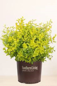 Five Sunshine Ligustrums, 3 Gal Sz. From Southern Living Plant Collection 186//280