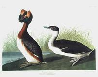 CCLIX Horned Grebe